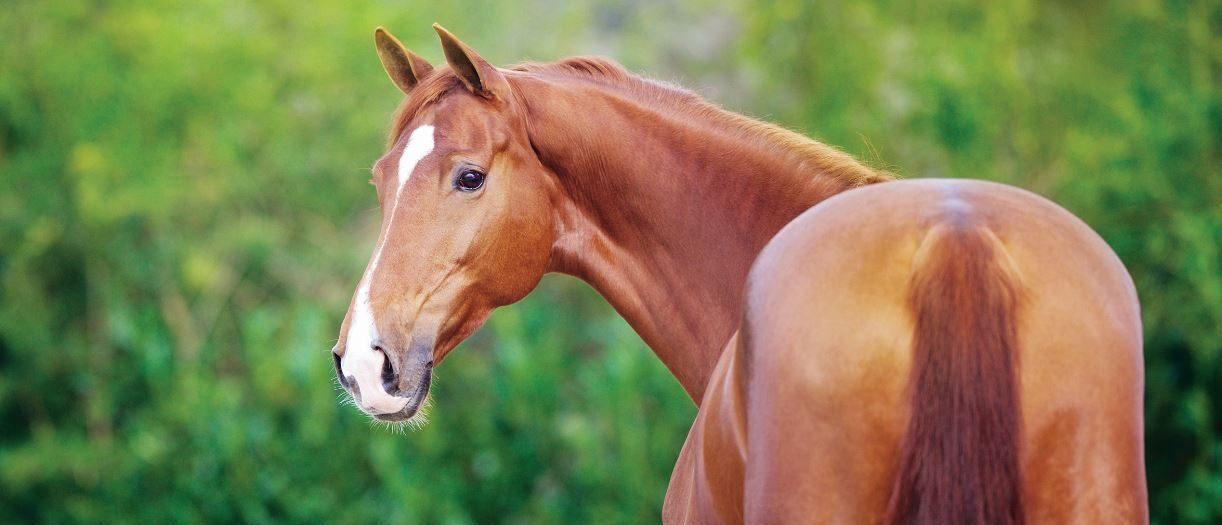 Pavo merkbranding paard met logo