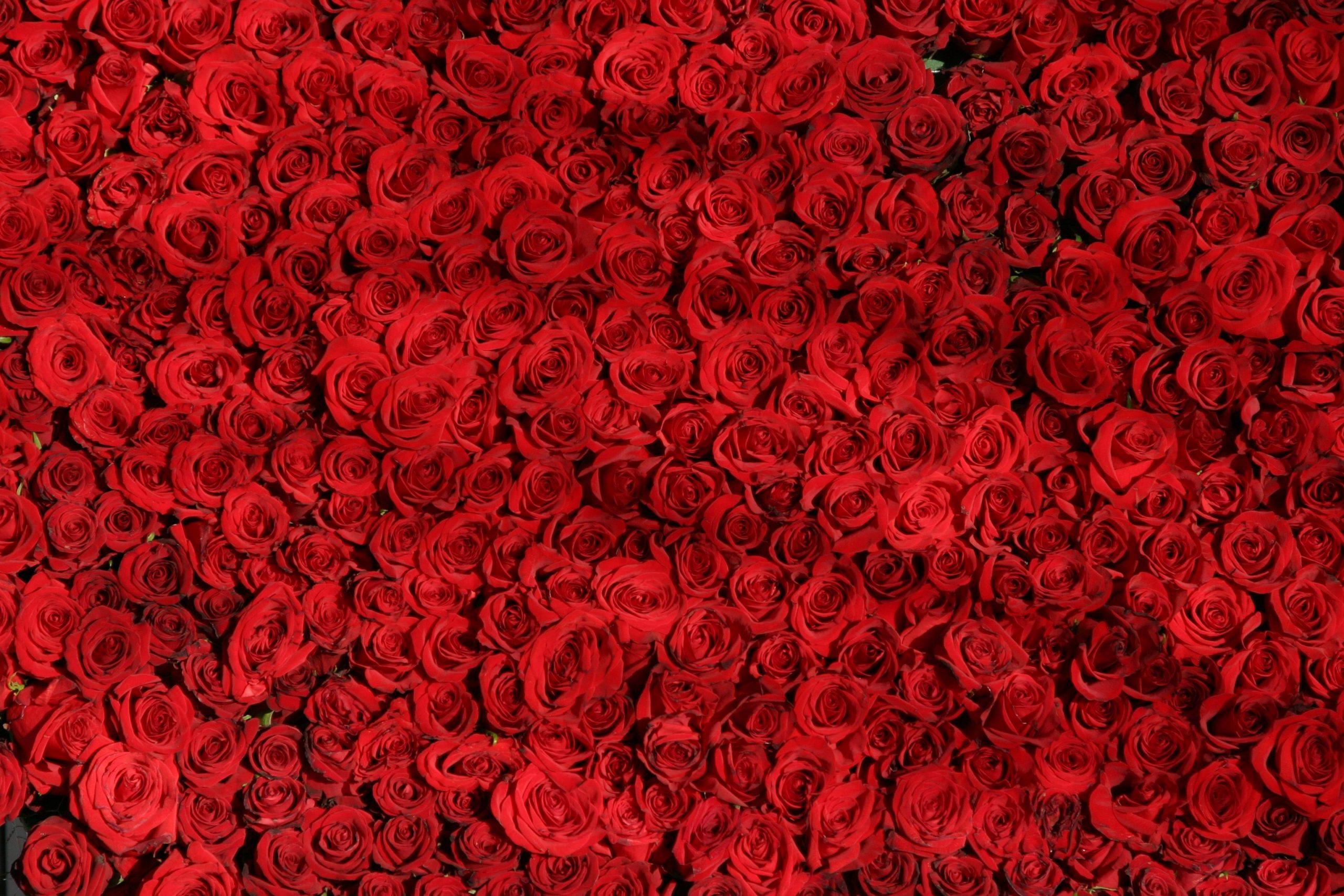 Rode rozen Valentijn